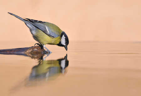 Great tit drinking water. photo