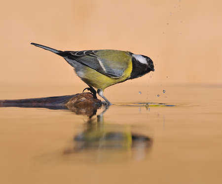 farrowed: bird drinking water.