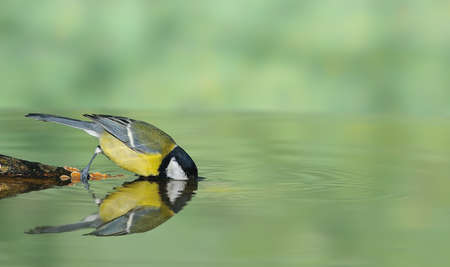 farrowed: great tit drinking water.