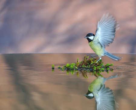 Great tit in flight. photo