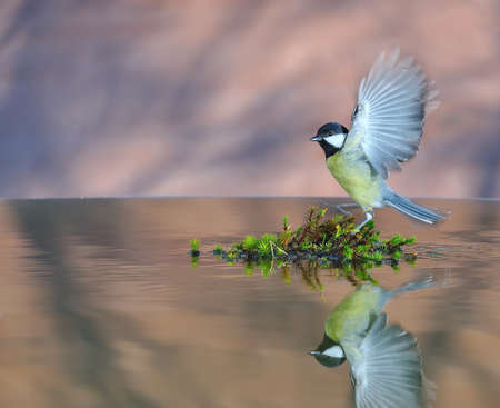 water birds: Great tit in flight. Stock Photo
