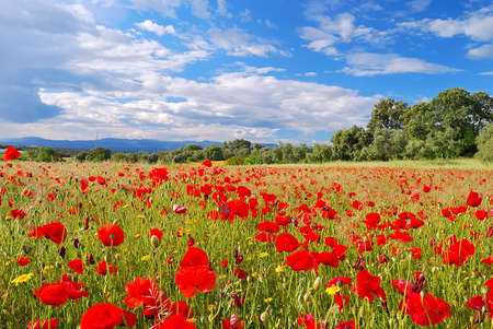 flowers field: Poppy Field. Stock Photo