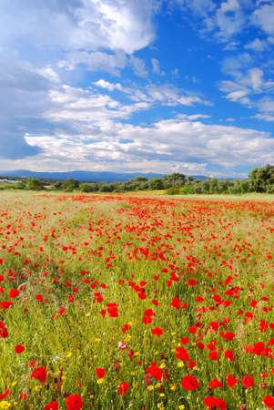 paisaje mediterraneo: Campo de amapolas.