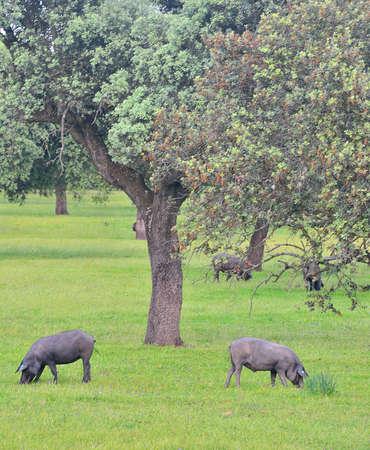 extremadura: Iberian pigs.