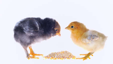 eating chicken feed. photo