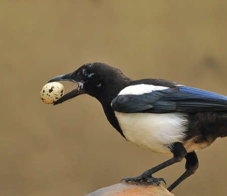 Magpie with an egg on the peak. Stock Photo - 9994661