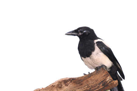 pica: Magpie isolated. Stock Photo