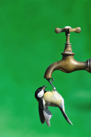 farrowed: Bird drinking water from a faucet.
