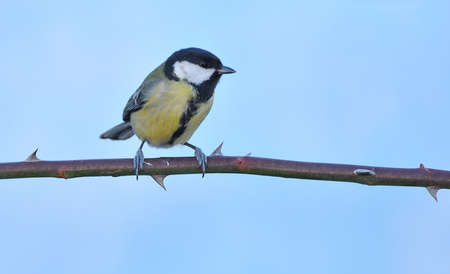 farrowed: Great tit on a rosebush.