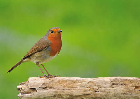 climatology: Robin.