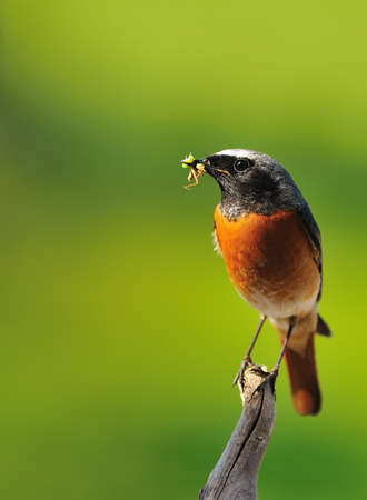 Redstart a grasshopper in its beak perched on a faucet. Stock Photo