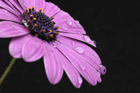 Daisy with drops of dew.