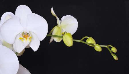 phalaenopsis: Orchid white on black background.