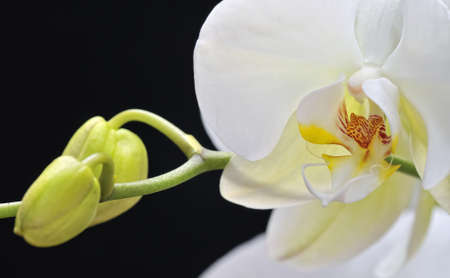 botanica: Orchid white on black background.