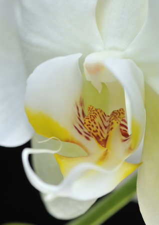 horticulturist: Orchid white on black background.