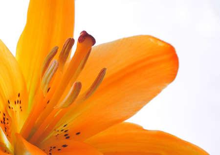 ova: Lily flower. Stock Photo