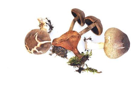 fungi woodland: Mushrooms isolated on white background. Stock Photo