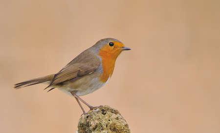 robins: Robin.