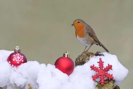 robins: Christmas card. Stock Photo