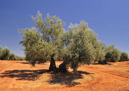andalucia: Olives.