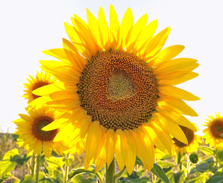 biodiesel: Sunflower. Stock Photo