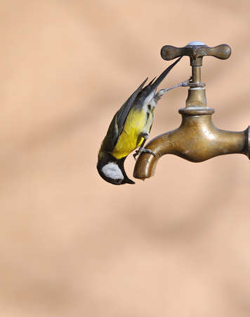 Bird drinking from a faucet.