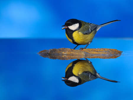 source: Great tit drinking water.