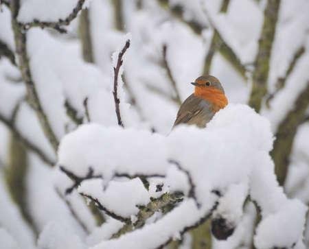 Robin in neve.