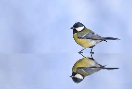calved: Great tit drinking water.