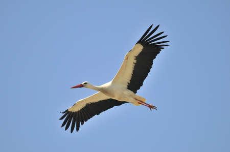 White Stork. Stock Photo - 10062657