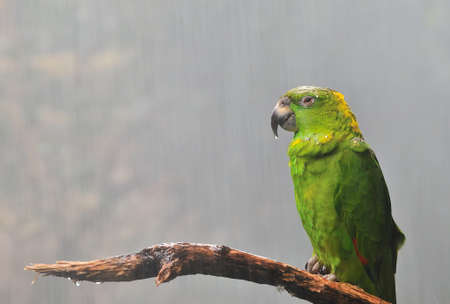 downpour: Amazon parrot.