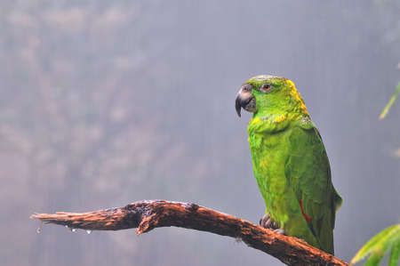 climatology: Amazon parrot.