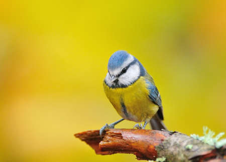 blue tit: Blue tit. Stock Photo