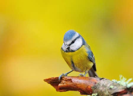 blue tit: M�sange bleue. Banque d'images