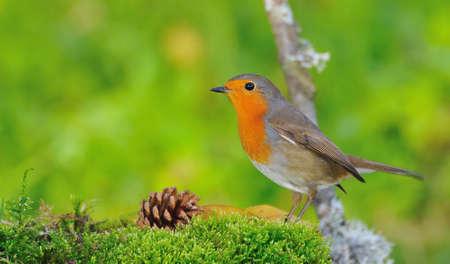 calved: Robin.