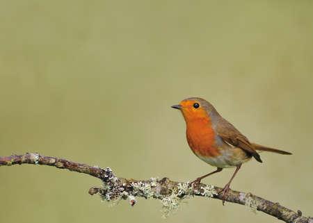Robin.