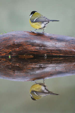 calved: Bird reflected in the water. Stock Photo