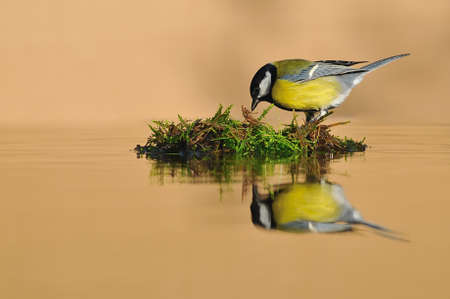 farrowed: Great tit in drinking water.