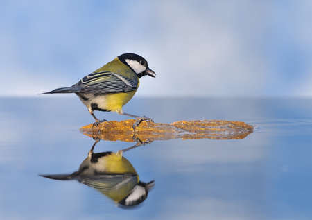 farrowed: Great tit got into the water.