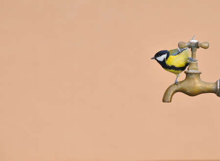 farrowed: great tit perched on a water faucet. Stock Photo