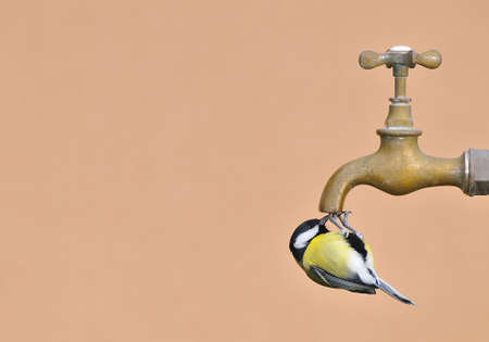 calved: great tit perched on a water faucet. Stock Photo