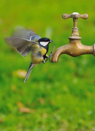 vol d oiseaux: Oiseau dans l'eau potable de vol d'un robinet. Banque d'images