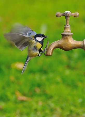 Bird in flight drinking water from a faucet.