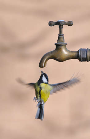 Great tit in flight drinking water from a faucet.