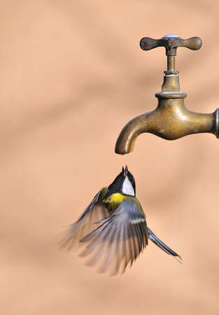 farrowed: Bird in flight drinking water from a faucet.