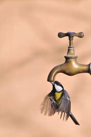 calved: Bird in flight drinking water from a faucet.
