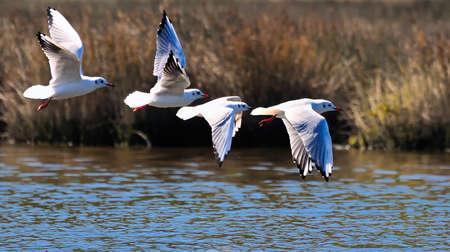 wetlands: Seagulls. Stock Photo