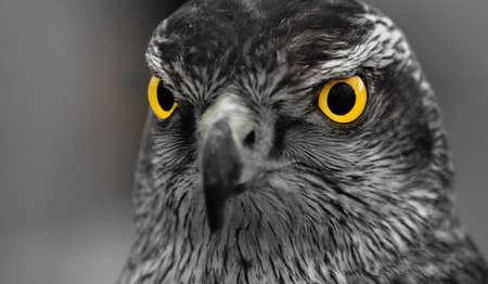 falcon: Hawk.