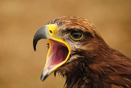 aguila real: Golden eagle.