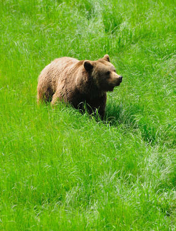 Grizzly bear. photo